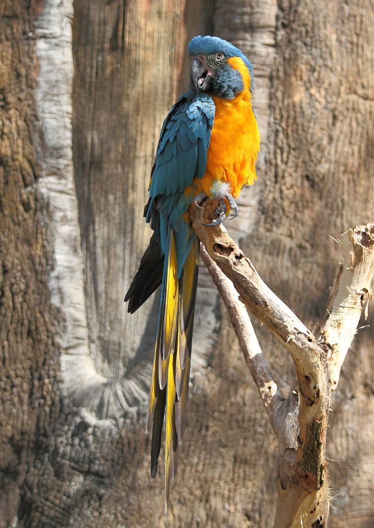 AraGlaucogularisFull Endangered species Wikipedia, the