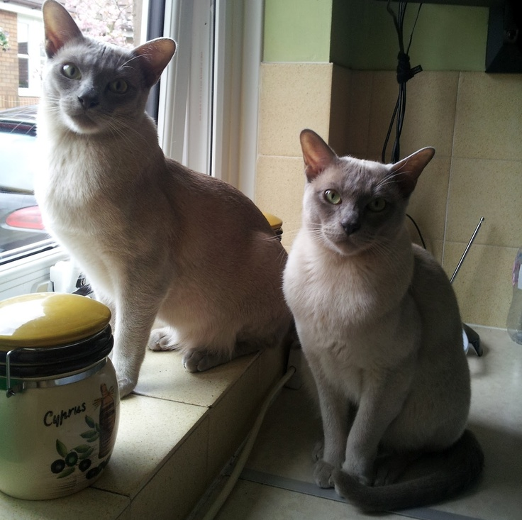 Burmese cat buy london