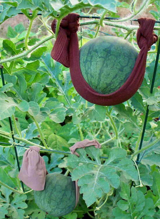 watermelon trellises | Sugar Baby Watermelon Trellis My sugar baby watermelons are