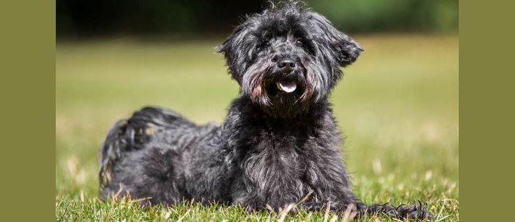 """De #Schnoodle is ontstaan door het kruisen van twee rassen namelijk de #Schnauzer en de #Poedel. Zij worden over het algemeen aangeduid als """"designer honden"""" en het is een steeds populairder wordende hond."""