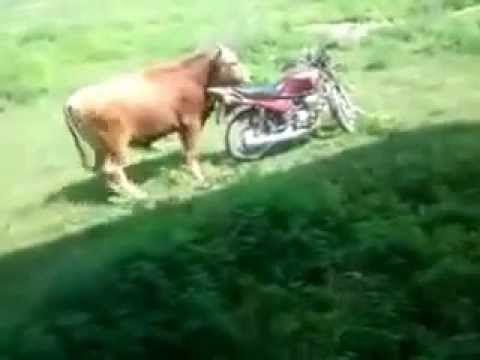 Ride Bull
