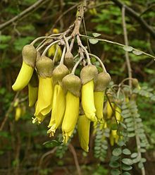 Kowhai Flower, Native New Zealand