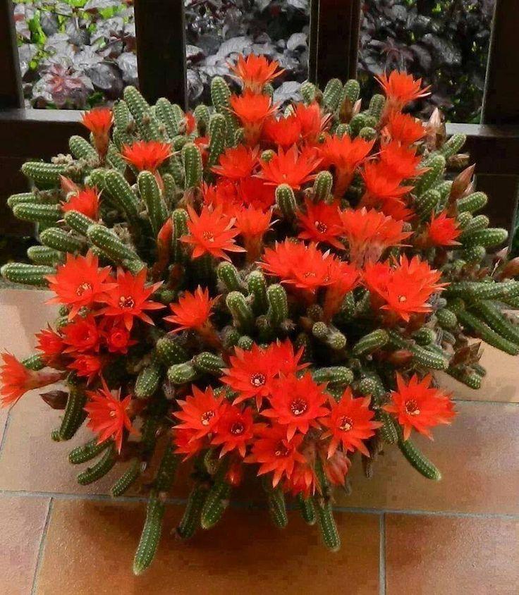Roja belleza la de la flor del chamaecereus silvestrii