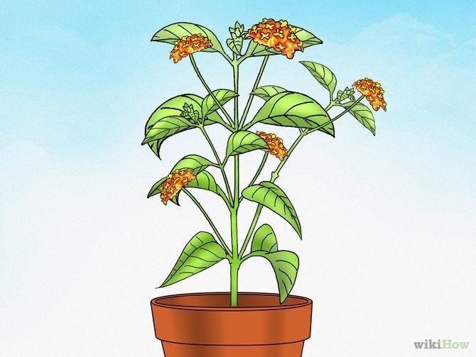 Como Cultivar Lantana. A Lantana (Lantana camara), também conhecida como Cambará, é uma planta perene. Lantanas perenes crescem em zonas mais quentes e Lantanas anuais preferem as mais frias. Ela cresce como um arbusto ou uma moita; também ...
