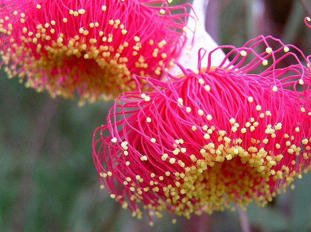Large Fruited Mallee Gum (Eucalytus youngiana) Blossoms.