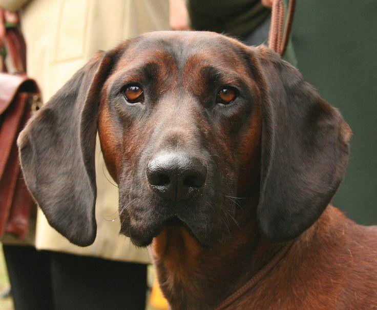 Ein Bayerischer Gebirgsschweißhund