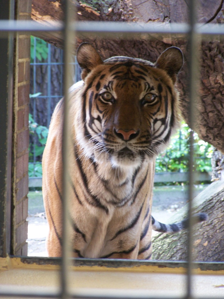 Stunning Photo Friday Berlin Zoo Tiger