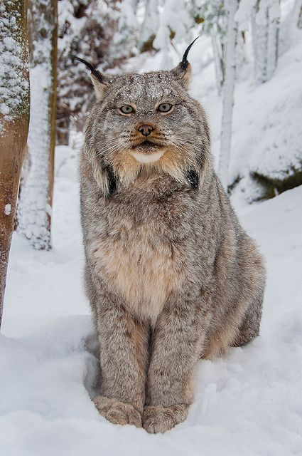 Lynx-w-01202013 by beabss on Flickr.