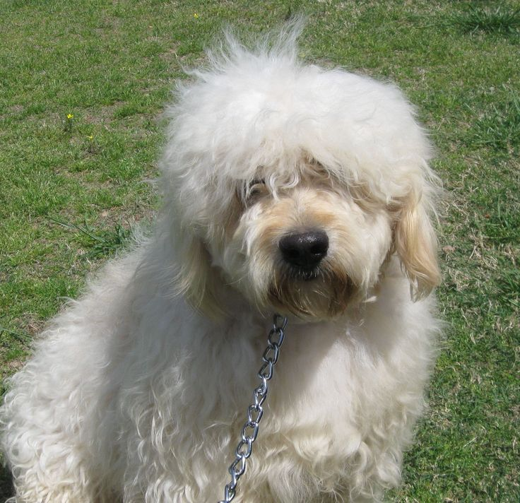 Mini Goldendoodles for Sale   Mini Goldendoodles available now FOR SALE ADOPTION from Greenbrier ...