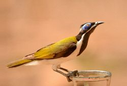 FAR-0007206 © WestPix A colourful honeyeater. Picture: Farhad Mobarra