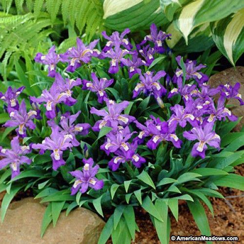 Blue Dwarf Crested Iris, Iris cristata, Dwarf Crested Iris