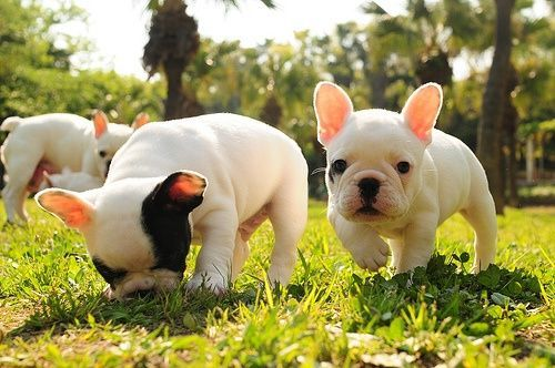 ANIMALS / French Bulldogs