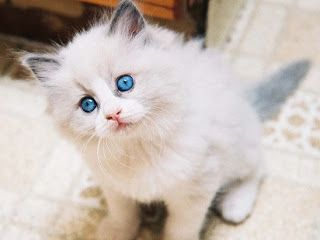 Makanan Kucing Anggora Buatan Sendiri Murah Harga Terbaik Dan