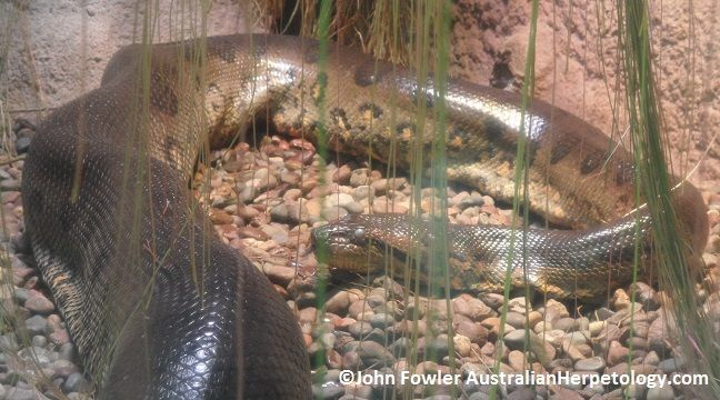 Green Anaconda - Eunectes murinus - New web page - Any feedback appreciated :)