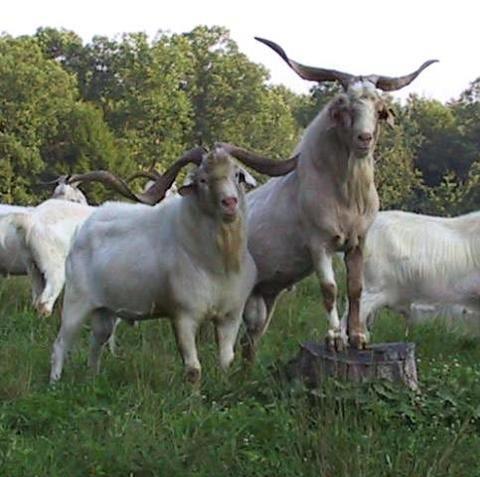 Kiko Goat | Kikomeatgoat : Kiko meat goats