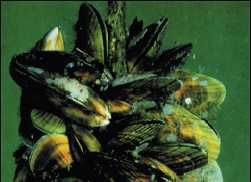 NZ Greenshell™ Mussels. http://www.coromandelaquaculture.co.nz/aquaculture-story.html