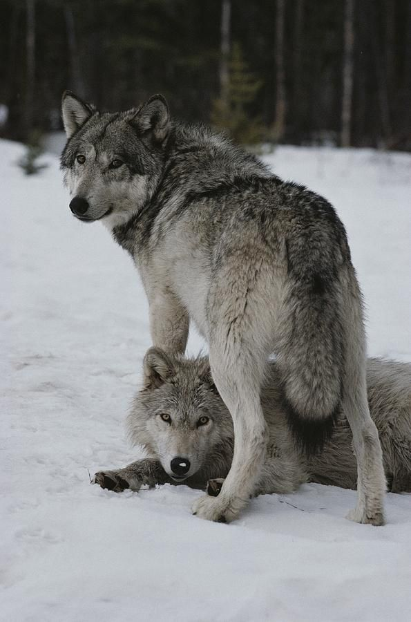 Wolves by Jim And Jamie Dutcher