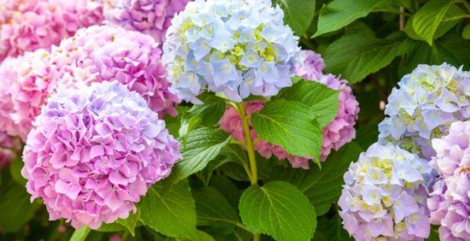 Tanaman Hias Bunga Hydrangea yang Bisa Berubah Warna