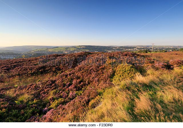 Norland, Halifax, West Yorkshire, UK 10th September, 2015. UK Weather Heather in flower on a beautiful day with white clouds and blue sky. Credit:  christopher smith/Alamy Live News - Stock Image