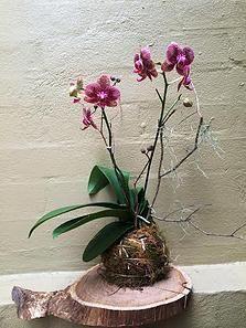 Bloodwood Botanica | Orchid Slice Living decor