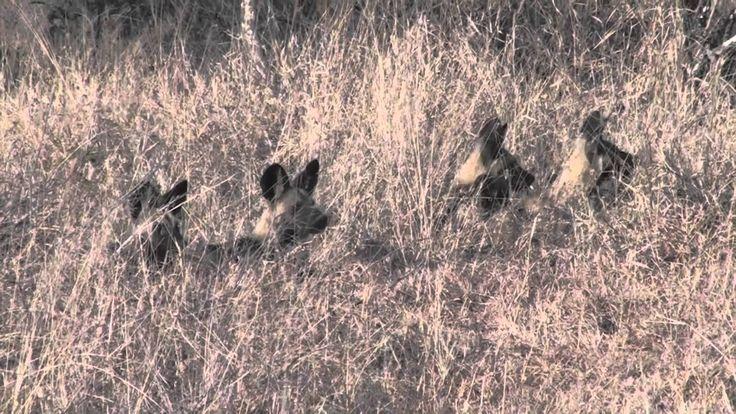 www.sunsafaris.com #nthambo #tree #camp #wild #dog #pups #animals #wildlife #kruger #national #park #klaserie #game #reserve