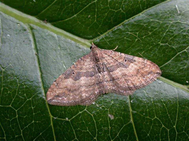 The Gem, Nycterosea obstipata - UK Moths ☆