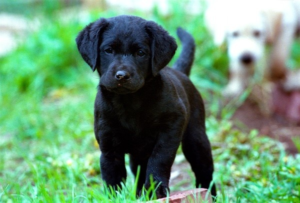 Best 25+ Black lab puppies ideas on Pinterest | Black labs ...