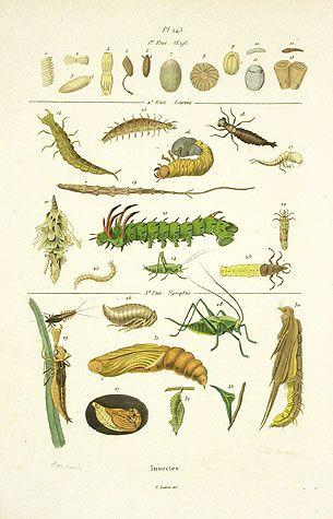 Guerin Natural History Prints 1836