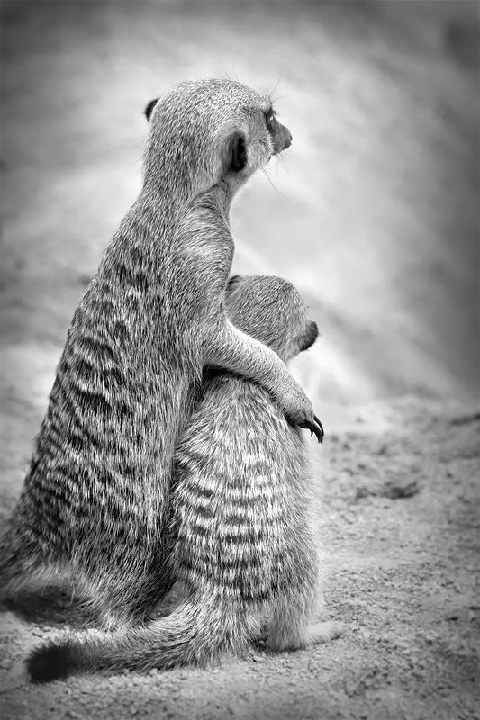 9e36fcd16e9eb2d7610e4e46ed34f5c3 baby animals wild animals 177 best family oriented meerkats images on pinterest adorable  at panicattacktreatment.co