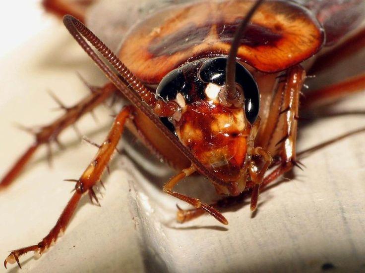 39 best Cockroach Repellents images on Pinterest