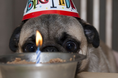 When will this birthday song end!?: Pugs Lovers, Happy Birthday, Things Pugs, Cute Pugs, Pugs Lyfe, Birthday Puglet, Birthday Songs, Pugs Life, Birthday Nuggets