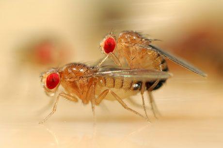 Le basi del corteggiamento secondo il moscerino Moscerini della frutta durante l'accoppiamento: le ricerche hanno chiarito alcuni meccanismi cruciali del rituale di corteggiamento (Cortesia Solvin Zankl)