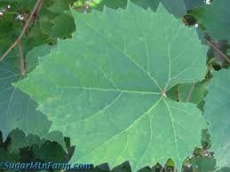 Výsledok vyhľadávania obrázkov pre dopyt grape leaf