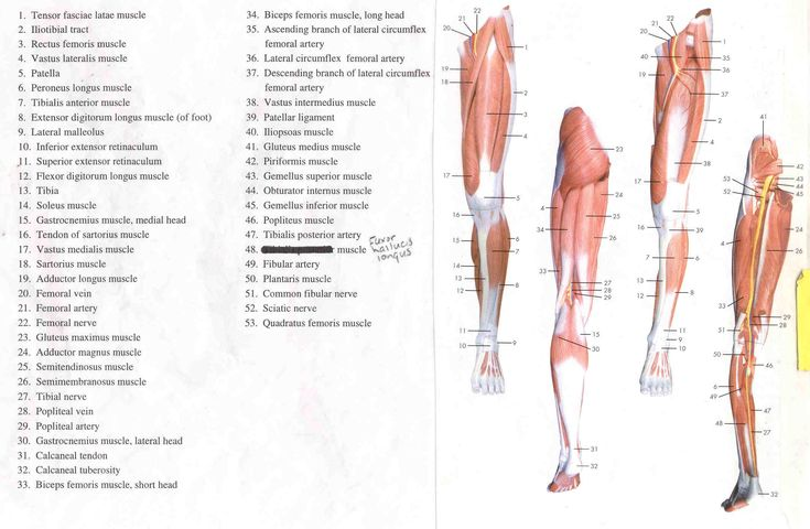 Human Anatomy Lab Resources Muscle Diagram Human Body Muscles Leg Muscles Diagram