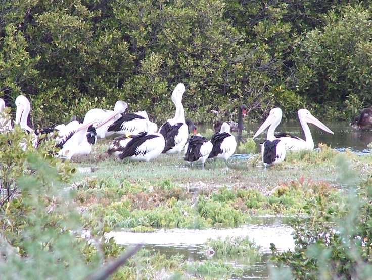 Pelicans and Black Swans. Photo by Kevin Collins of St Kilda, South Australia. Thank you Kevin. @cityofsalisbury #birds