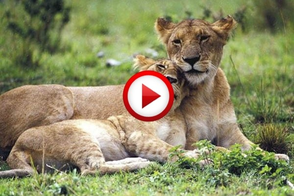 Woman Kisses Lions As If They Were Kittens Video #animals, #lions, #videos, https://facebook.com/apps/application.php?id=106186096099420