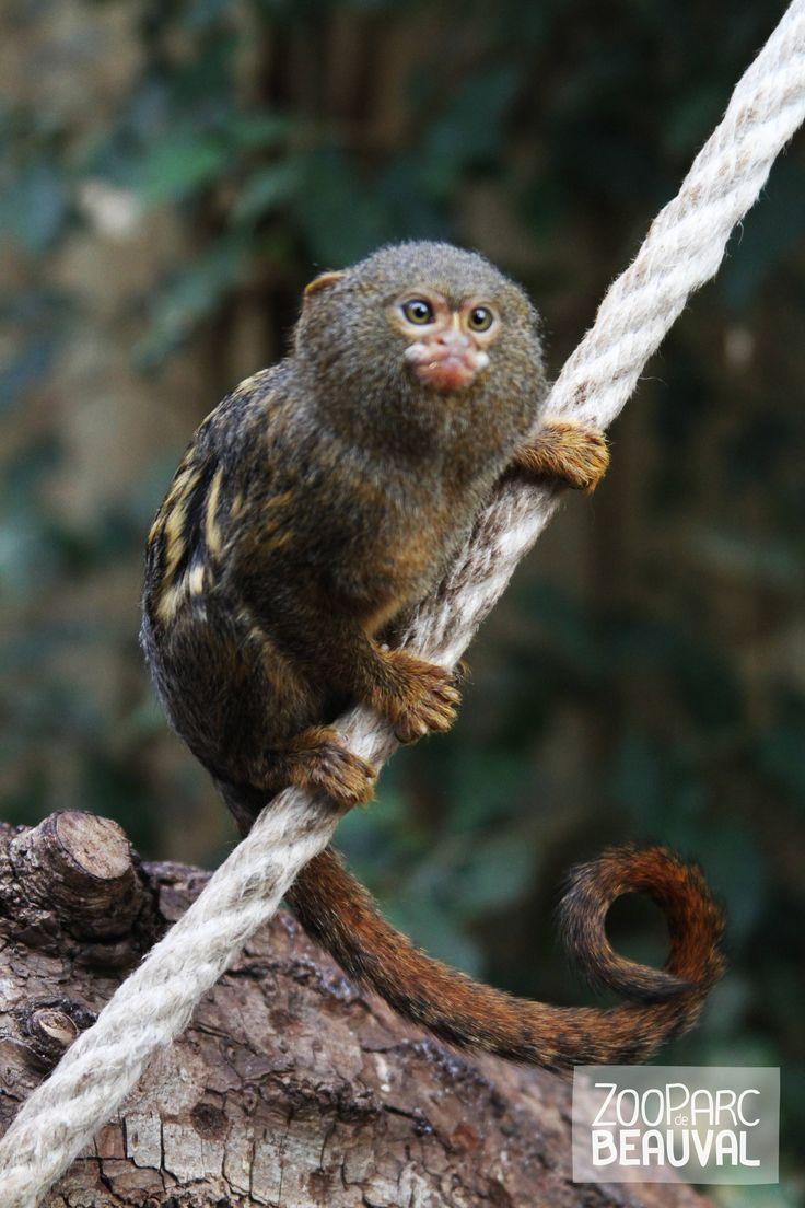 Avec ses 140 grammes et ses 15 centimètres de haut, le #ouistiti pygmée est l'un des plus petits primates !