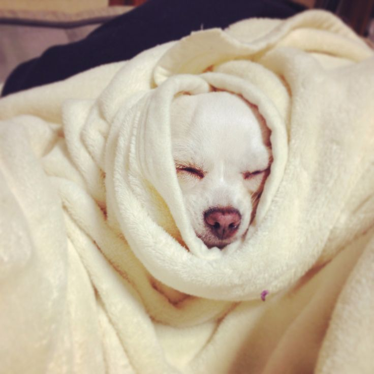 I'm sleeping...#dog #chihuahua