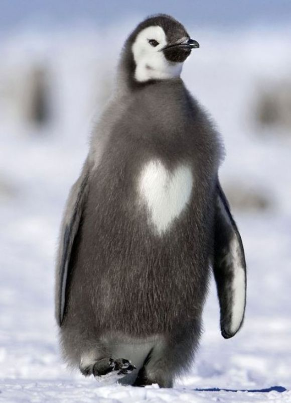 I Heart Penguins