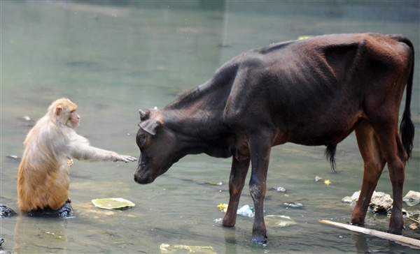 A delicate touch between unlikely companions (Prakash Mathema / AFP - Getty Images)Beats, Bagmati Rivers, Monkeys, Friendship, Rivers T-Shirt, Animal Track, Animal Friends, Summer Heat, Animal Photos