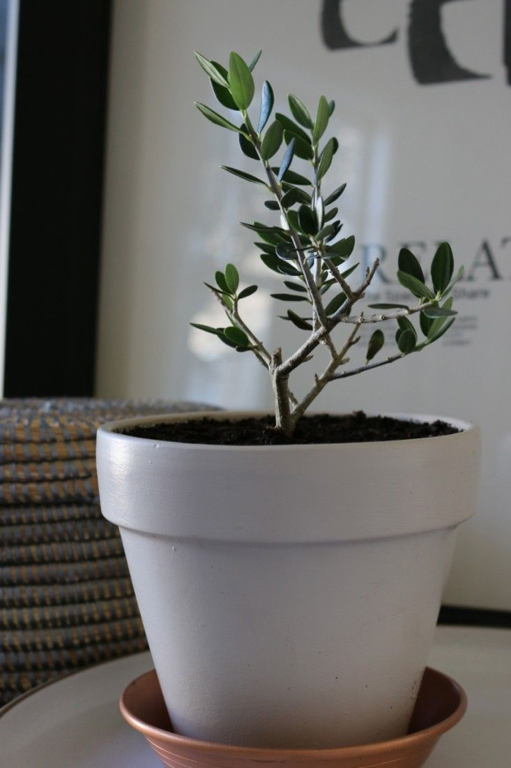 Miniature Olive Plant in Farrow & Ball Elephant's Breath Pot, Gardenista