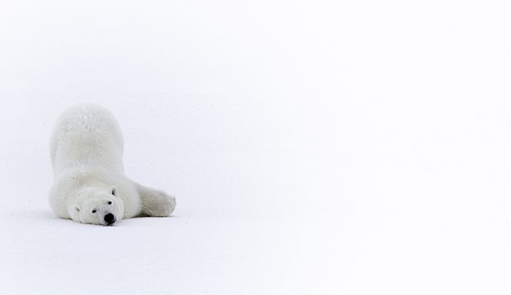 """""""The Penguin Slide"""" Justin Gibson: Usually with their rump in the air, polar bears use their hind legs to push themselves along the ice. This helps clean their fur and the ice keeps their bodies cool. A side benefit is that it's so darn cute for us to watch and photograph!"""