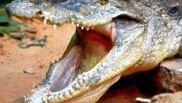 Continuano le ricerche del ragazzo di 12 anni, aggredito da un coccodrillo marino,
