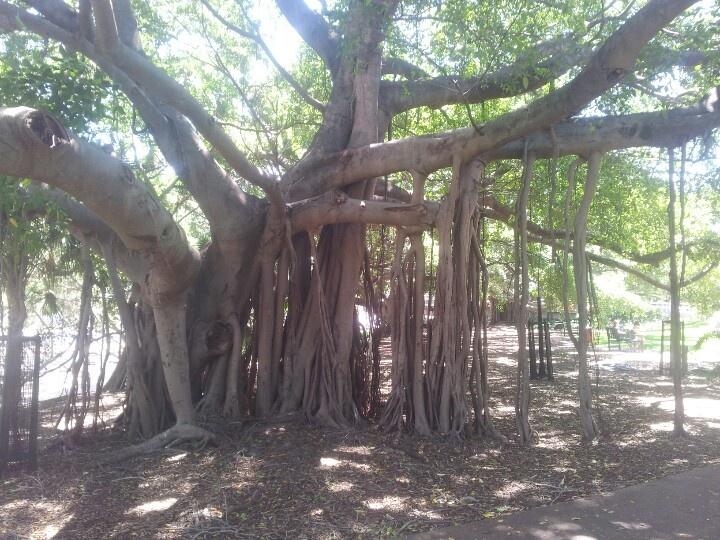 Brisbane botanical garden selfsustaining tree