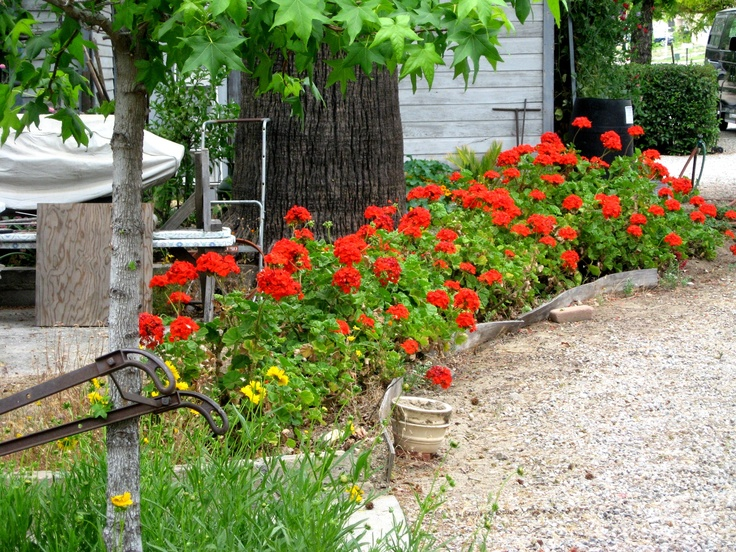 With our mild, Califonia winters... Geraniums are often lush 'n full of blooms for at least 9 monhs of the year. Very heat tolerant.