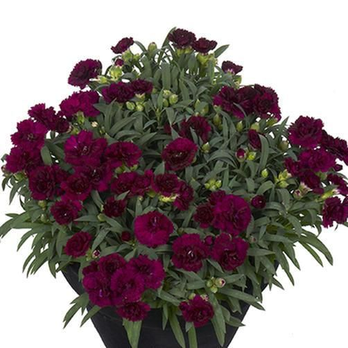 Dianthus caryophyllus Sunflor® Paseo - Dwarf Hardy Carnation Perennial