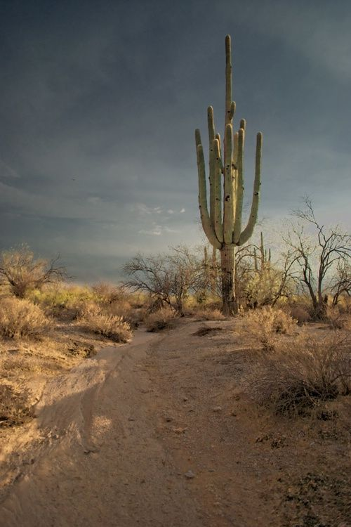 230 Year old Saguaro - did you know that Saguaros only grow in the Sonoran Desert?  #Arizona  #Saguaros