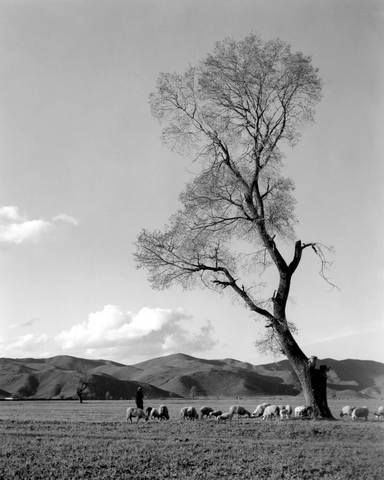Βοσκή στον κάμπο.1964 φωτ.Τάκης Τλούπας