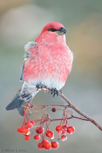 .What bird is this? - - - (purple finch?)...Pretty bird... :-) KSS