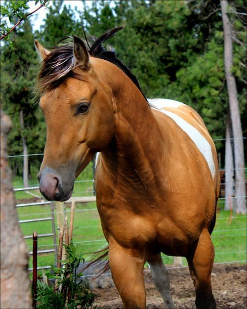 295 best images about Horses (Paint & Pinto) on Pinterest | English, Pretty horses and Palomino